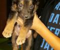 كلب جيرمان شبر للبيع عمره شهر ونصف