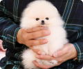 beauttiful pomeranian puppies
